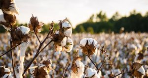 Cotton Production In Pakistan