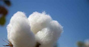 New Cotton Varieties