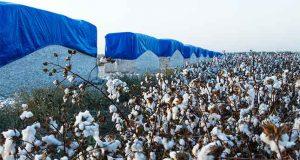 Pakistan Cotton Growth Increased