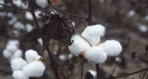 International Cotton Association
