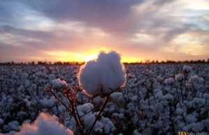 Barriers in cotton imports