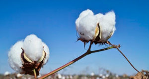Relief on cotton exports