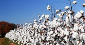 Cotton growth in Pakistan