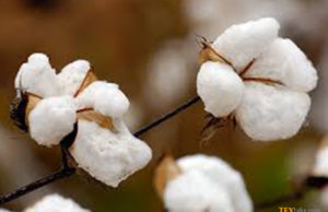 Estimated cotton production by CCAC