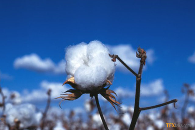 Angola cotton cropping coming back