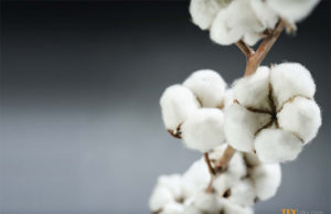 Cotton prices in Pakistan moved up
