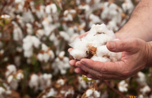 Australian cotton production in 2017-18