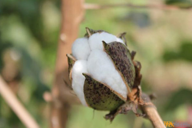 Karachi Cotton Association price