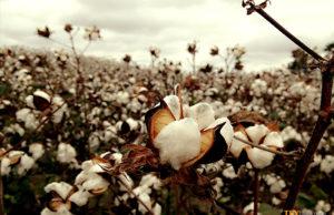 Global cotton production