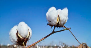 Pakistan cotton production moved up